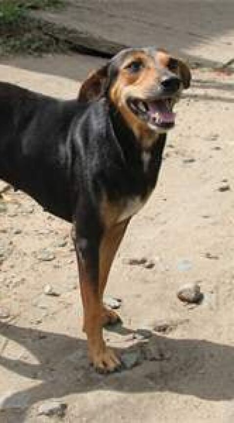 Holly the Street dog in Sri Lanka cared for by Dogstar Foundation