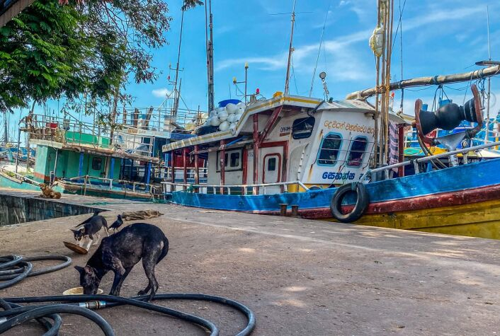 2 dogs eat in front of boats in Negombo Harbour