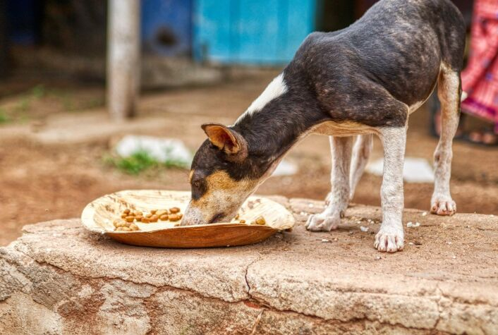 small puppy eats from a plate in Negombo fish market