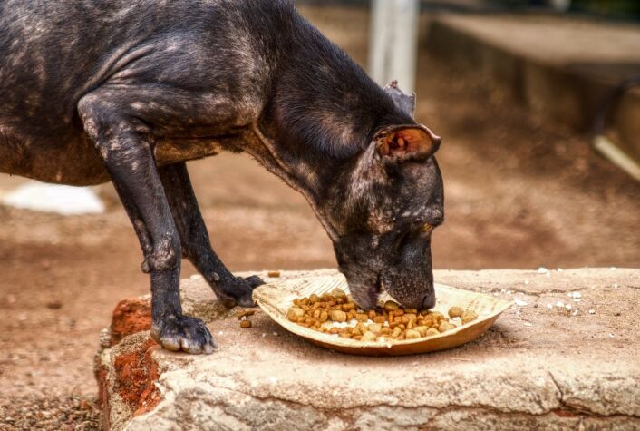 a street dog suffering from mange eats from a plate