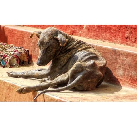 A malnourished dog suffering from mange lays on the temple steps