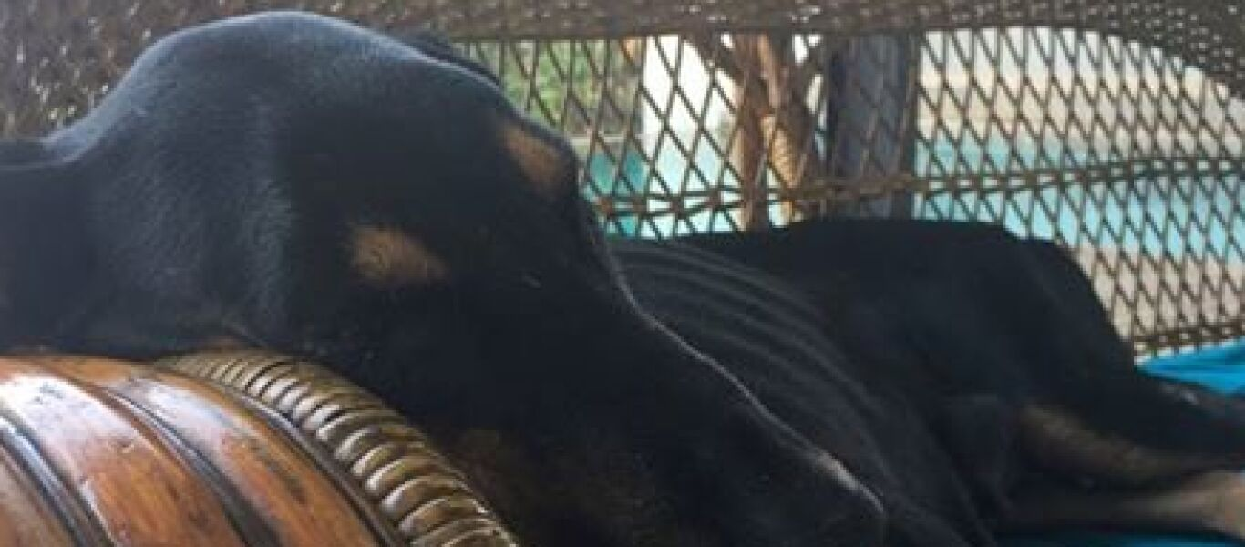 pedigree doberman anna sri lanka breeding