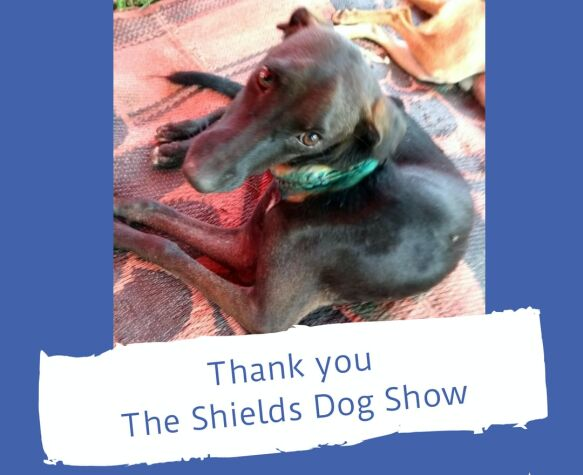 sheild dog shows dogstar foundation