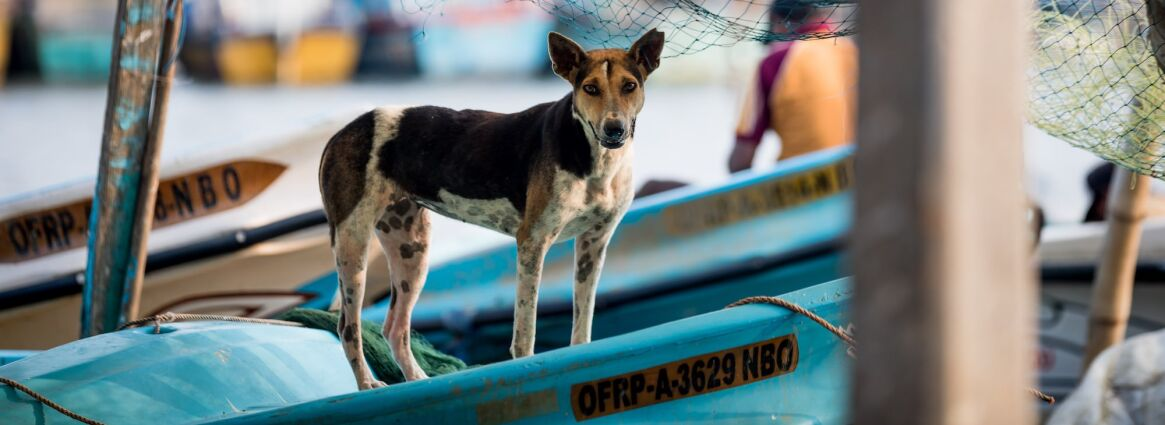 Sterilised dog stands in boat in Sri Lanka